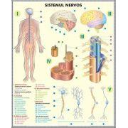 Plansa 2 teme distincte. Sistemul nervos - Analizatorii. Plansa DUO.